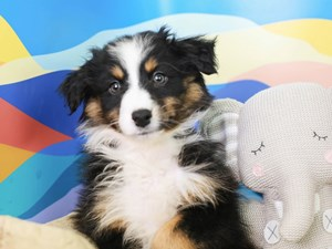 Australian Shepherd-DOG-Male--2958277