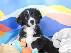Australian Shepherd-DOG-Female-Black and White-2957403