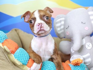 Boston Terrier-DOG-Male-Seal Brindle and White-