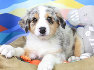 Australian Shepherd-DOG-Male-Blue Merle White and Tan-2957409