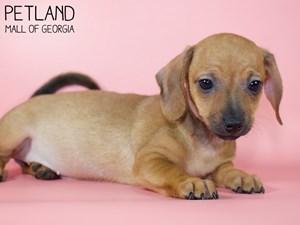 Dachshund-DOG-Female-2959101