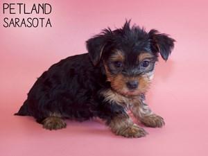 Yorkshire-Terrier-DOG-Female-2959015