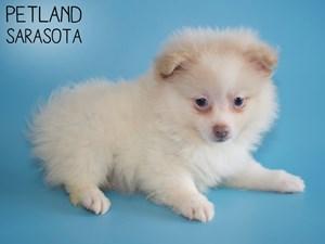 Pomeranian-DOG-Male-2959075