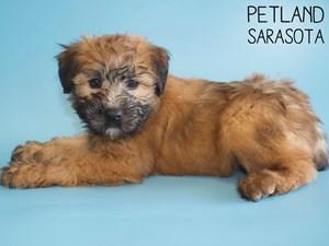 Soft-Coated-Wheaten-Terrier-DOG-Male-2959032