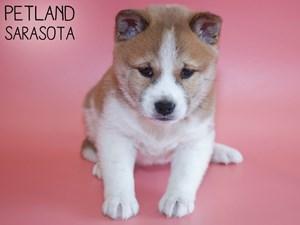 Shiba-Inu-DOG-Female-2959029