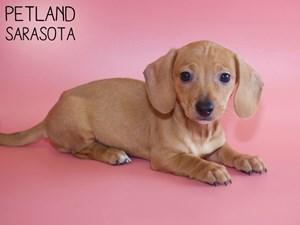 Dachshund-DOG-Female-2959035