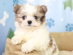 Pomapoo-DOG-Female--