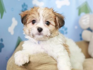 Papitese-DOG-Female--