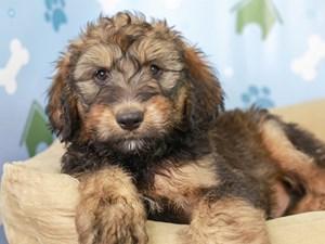 Bernedoodle-DOG-Male--