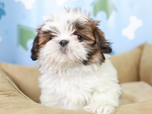 Shih Tzu-DOG-Male-Red and White-