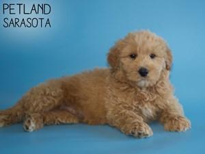 Goldendoodle-DOG-Male-2968377
