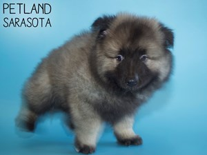 Keeshond-DOG-Male-2968440