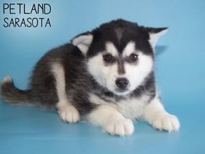 Pomsky-DOG-Male-2963477