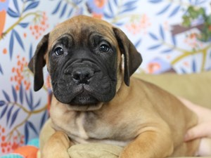 Bullmastiff-DOG-Female--