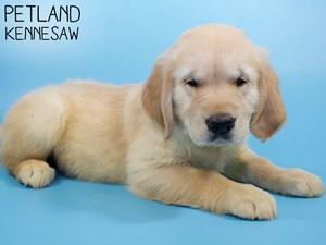 Golden-Retriever-DOG-Male-2971481