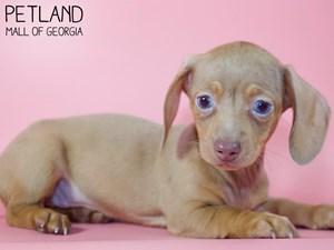 Dachshund-DOG-Female-2971492