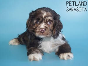Cocker-Spaniel-DOG-Male-2971717