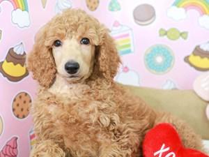 Standard Poodle-DOG-Female-LIGHT RED-
