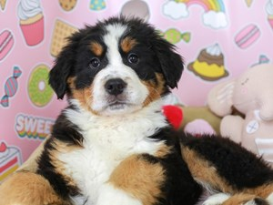 Bernese Mountain Dog-DOG-Male-Black Rust and White-