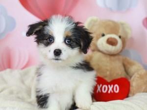 Aussieton-DOG-Male--2990320