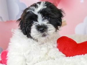 Shih Poo-DOG-Male--2991457