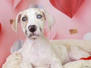 Great Dane-DOG-Male-Merlequin-
