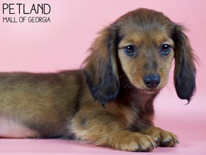 Dachshund-DOG-Female-2993226