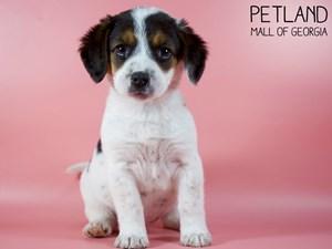 Beagle-DOG-Female-2993203