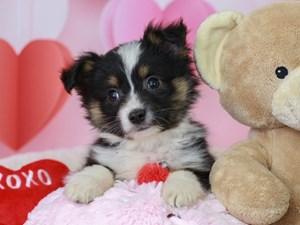 Mini Aussie-DOG-Male-Black Tri-2999418