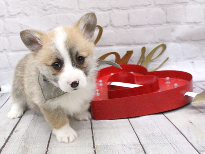 Pembroke Welsh Corgi-DOG-Male-Red & White-2999553