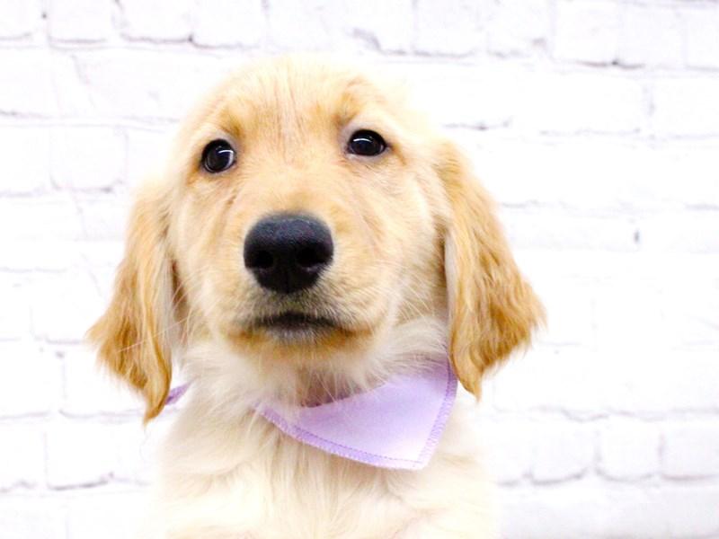 Golden Retriever-DOG-Female-Light Golden-2999886