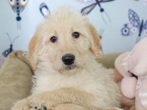 Labradoodle-DOG-Male-Cream-3003202