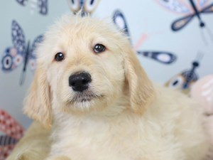 Labradoodle-DOG-Male-Cream-3003204