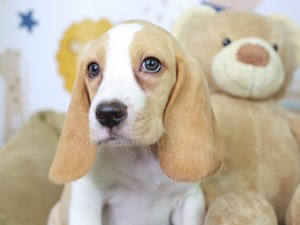 Beagle-DOG-Female--