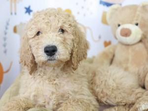 Goldendoodle-DOG-Male-BLACK/WHITE-