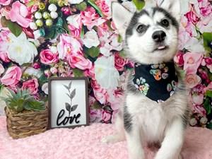 Siberian-Husky-DOG-Male-3019118