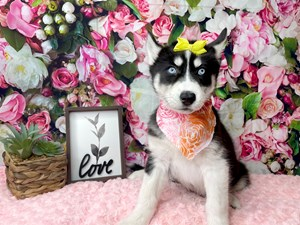 Siberian-Husky-DOG-Female-3019112