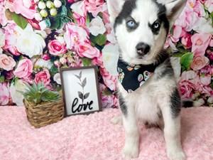Siberian-Husky-DOG-Male-3019106