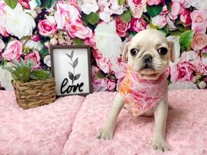 Pug-DOG-Female-3016929