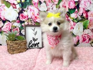 Pomeranian-DOG-Female-3016884