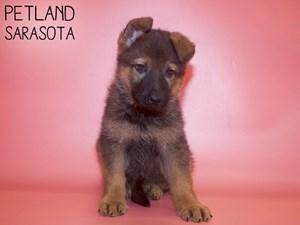 German-Shepherd-DOG-Female-3014604
