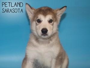 Alaskan-Malamute-DOG-Male-3015492