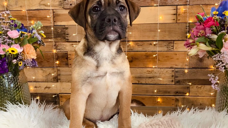 Grand Rapids Bulldog/ Puggle Mix Puppies