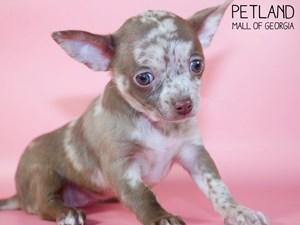 Chihuahua-DOG-Female-3015499