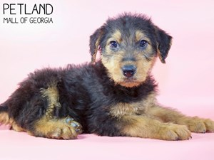 Airedale-Terrier-DOG-Female-3015497