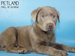 Labrador-Retriever-DOG-Male-3015470
