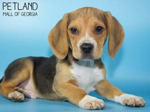 Beagle-DOG-Male-3015468