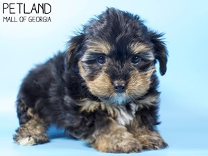 Yorkshire-Terrier-DOG-Male-3015467