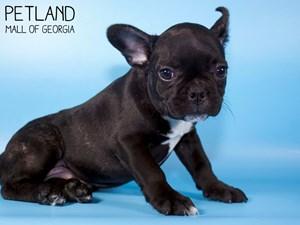 French-Bulldog-DOG-Male-3015465
