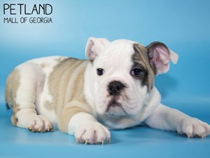 English-Bulldog-DOG-Male-3015464